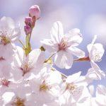 桜イメージ3