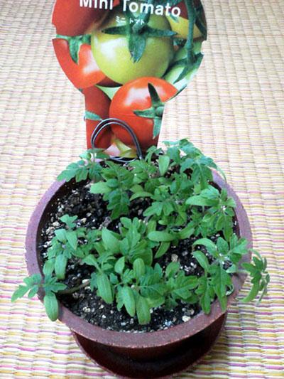 mini-tomato1.jpg