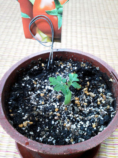 mini-tomato2.jpg